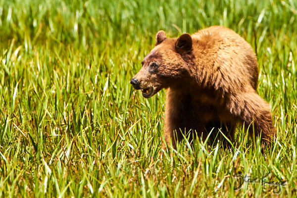 """Black Bear in Sequoia National Park, in Article, """"The Three Bears"""""""