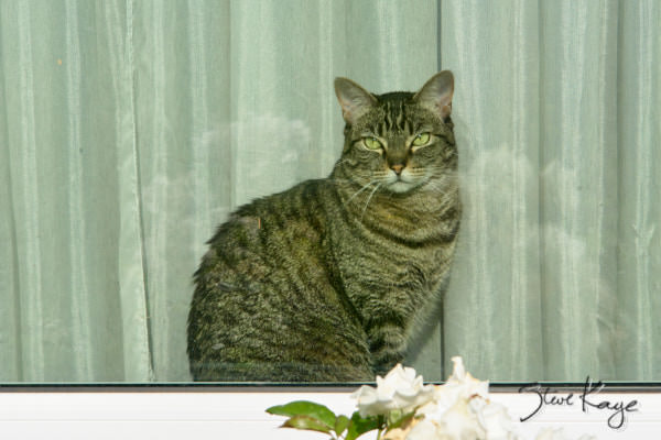 Olivia Watching the Neighborhood, in article: How to Achieve Success as a Cat