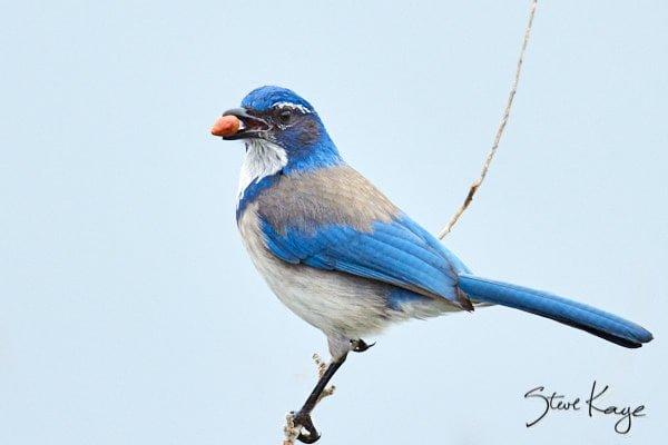California Scrub-Jay, © Photo by Steve Kaye