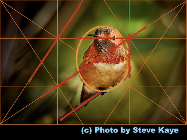 Allen's Hummingbird, © Photo by Steve Kaye