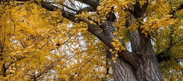 Ginkgo Leaves Falling