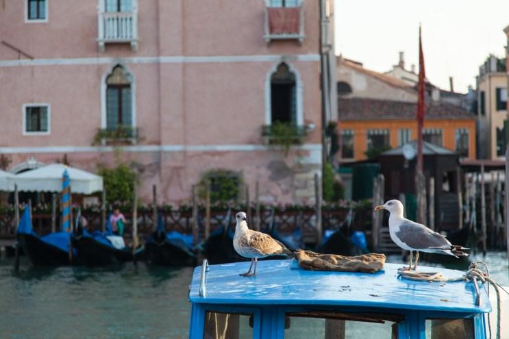 Fishing Gulls
