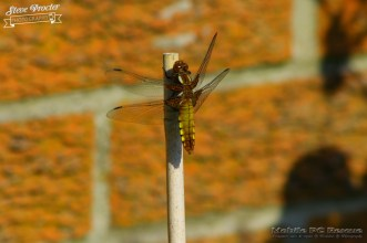 Dragonfly in Garden 26th May 2018 0006 Taken on 2018/05/26 16:37:24