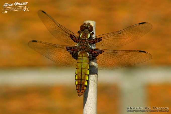 Dragonfly in Garden 26th May 2018 0021 Taken on 2018/05/26 16:38:31