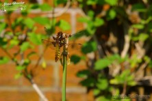 Dragonfly in Garden 26th May 2018 0046 Taken on 2018/05/26 16:42:38