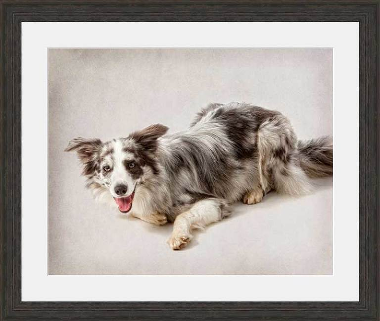 Slate Merl Border Collie, dog portrait in studio
