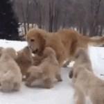 Golden Retriever and pups