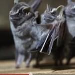 dancing bats
