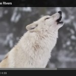 How Wolves Change Rivers – YouTube