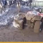 Determined koala chases woman herding cows on a quad bike – video