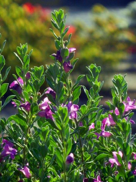 Stewart Innes flowers Nikon Coolpix - Flowers in Kuwait 1