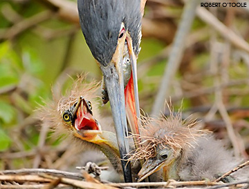 Alligator Zoological Farm blue heron feeding her nestlings