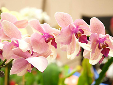 Flower and Garden Show orchids