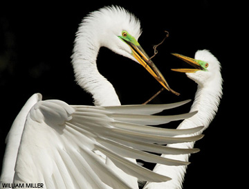 Nesting tropical egrets photographed by William Miller for the Photo Fest competition