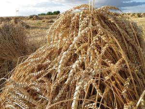 A sheaf id harvested wheat - part of the debt forgiven by the shrewd manager