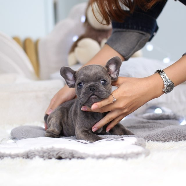 looking for a new pet? micro-teacup puppies are available now – st