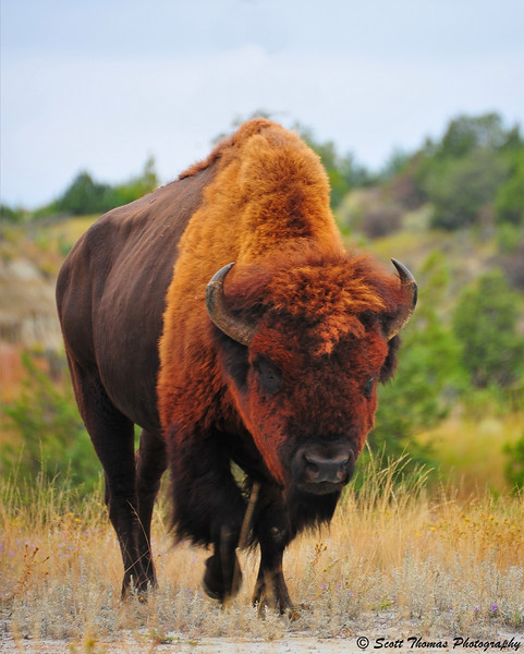 An American Bison bull in the South unit of the Theodore Roosevelt National Park near Medora, North Dakota.