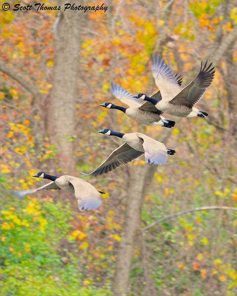 A flock of Canada Geese take off from the surface of Webster's Pond near Syracuse, New York.