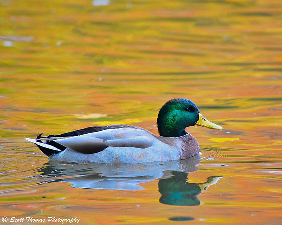 A male Mallard Duck swims on Webster's Pond with the colors of autumn reflected in the water.