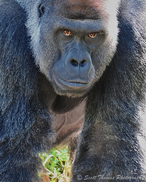Male Gorilla on the Pangani Forest Exploration Trail in Disney's Animal Kingdom.