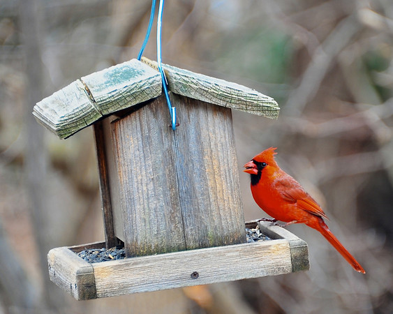 Male Northern Cardinal at feeder