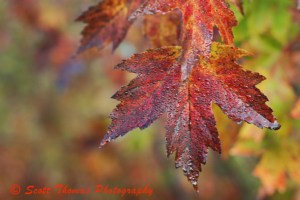 A red Sugar Maple leaf on the Bog trail of Beaver Lake Nature Center, Baldwinsville, New York.