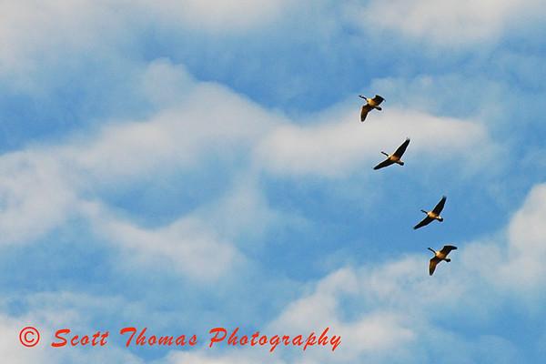 Canadian Geese flying over Beaver Lake near Baldwinsville, New York.
