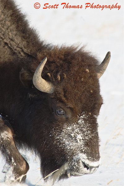With a snoot full of snow from using his head to move snow out of the way in search for food, this American Bison or Buffalo roams the Theodore Roosevelt National Park near Medora, North Dakota, in -40 degreed (F) wind chilled weather earlier today.