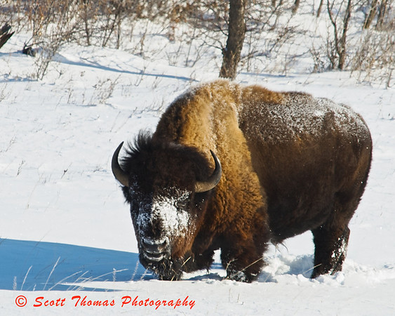 The largest of the males, this bull American Bison stayed at the bottom of the hill while I photographed his more adventuresome herdfolk.