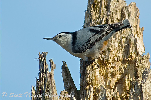 White-breasted Nuthatch (Sitta carolinensis) forging for food along the Esker Brook Trail at the Montezuma National Wildlife Refuge.