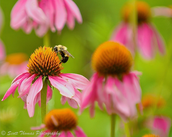 A bee visiting a purple coneflower at the Rosamond Gifford Zoo in Syracuse, New York.