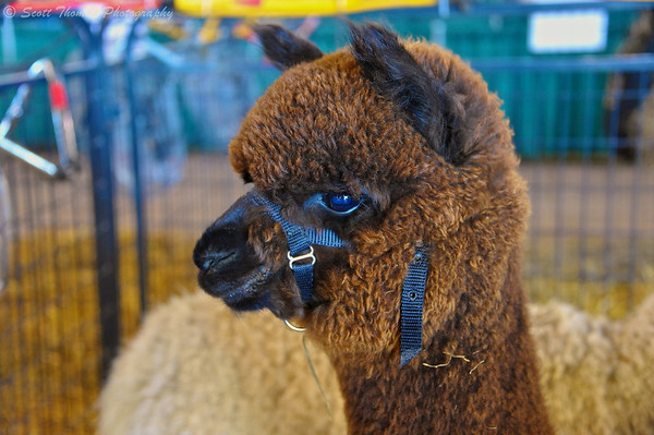 A brown colored Alpaca at the Northeast Alpaca Expo at the New York State Fairgrounds in Syracuse, New York.