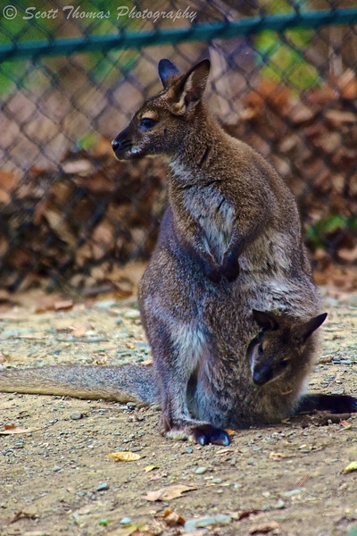 Female Bennett's Wallaby (Macropus rufogriseus) carrying a Joey in her pouch in the Binghamton Zoo at Ross Park in Binghamton, New York.