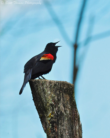 A male Red-winged Blackbird (Agelaius phoeniceus) singing near the Owens Observation Platform in Sapsucker Woods at the Cornell Lab of Ornithology near Ithaca, New York.