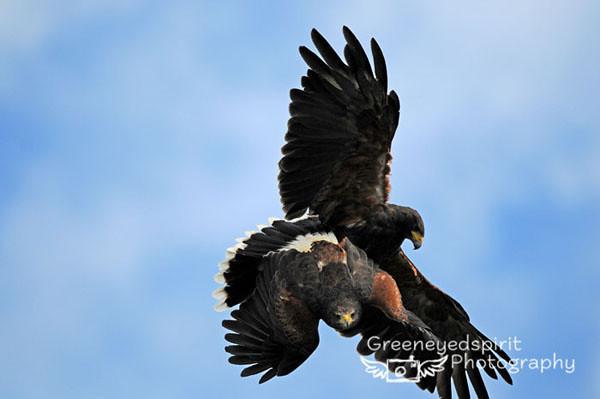 Mating Flight.