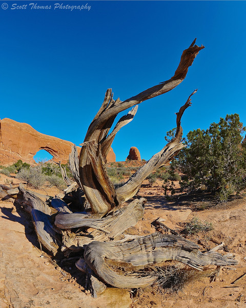 Old Pinyon Pine in front of North Windows Arch in Arches National Park near Moab, Utah.