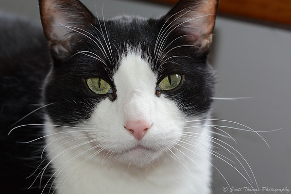 A portrait of Gus, the cat, taken with a Nikon D7100 camera.