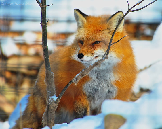 Red fox (Vulpes vulpes) at the Rosamond Gifford Zoo in Syracuse, New York.