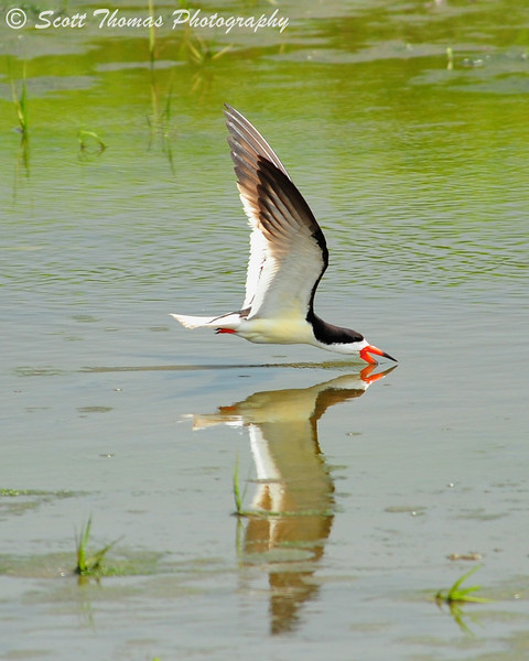 Black Skimmer (Rynchops niger) in the Forsythe National Wildlife Refuge near Absecon, New Jersey.