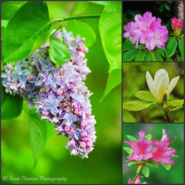 Hundreds of varieties of lilacs, rhododendrons, magnolias and azaleas are on display during the annual Rochester, New York Lilac Festival