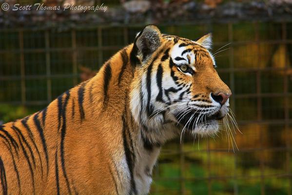 Amur or Siberian Tiger (Panthera tigris altaica) in the Binghamton Zoo at Ross Park in Binghamton, New York.