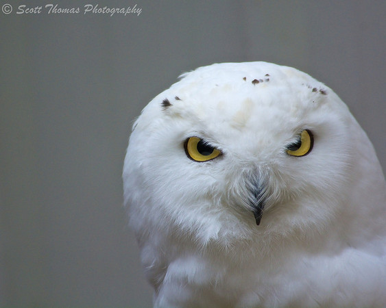 Snowy Owl (Bubo scandiacus) in the Binghamton Zoo at Ross Park in Binghamton, New York.