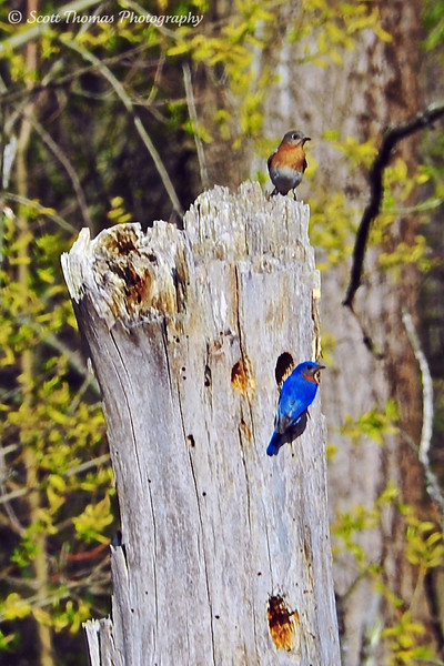 A nesting pair of Eastern Bluebirds (Sialia sialis) at the Montezuma National Wildlife Refuge near Seneca Falls, New York.