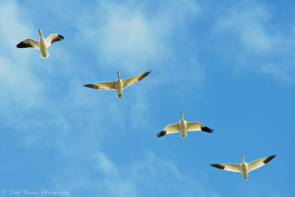 Snow Geese flying overhead at the Cayuga Lake State Park boat launch near Seneca Falls, New York.