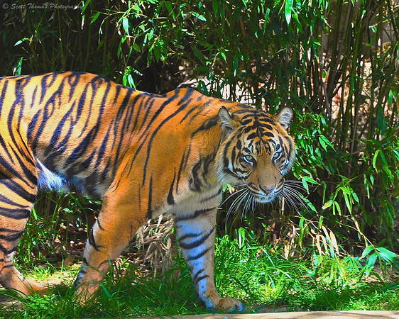 Sumatran tiger at the National Zoo in Washington, DC.