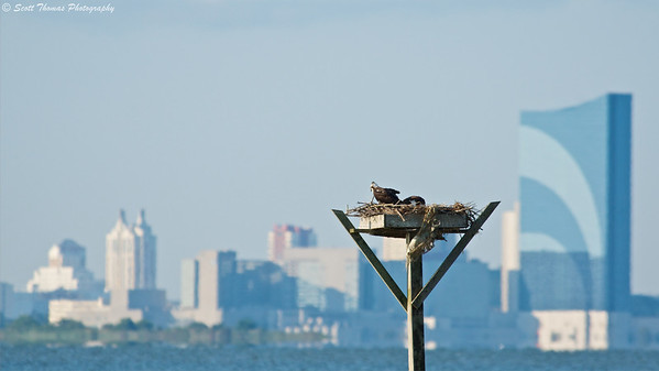 Ospreys (Pandion haliaetus) tend to their nest in the Forsythe National Wildlife Refuge with the Atlantic City, New Jersey skyline in the background.
