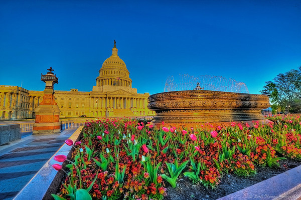 Tulips in front of the US Capitol building during the morning Golden Hour in Washington, DC.