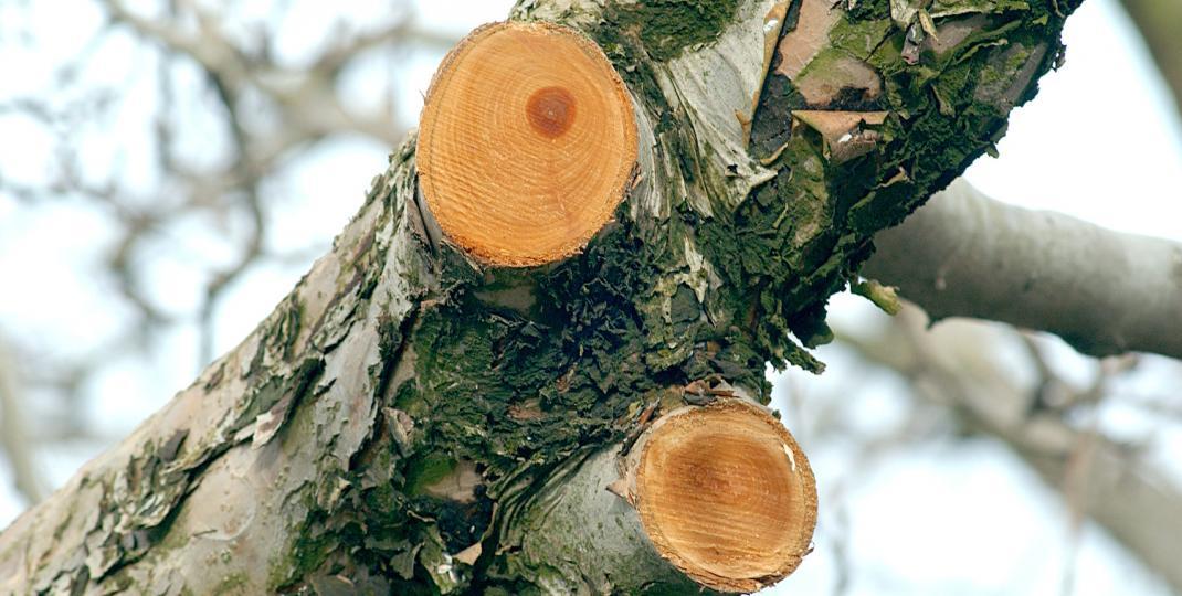 Jak zadbać o prawidłową formę koron drzew ozdobnych zimą?