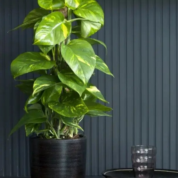 Interieur | Scindapsus = Woonplant van de Maand februari