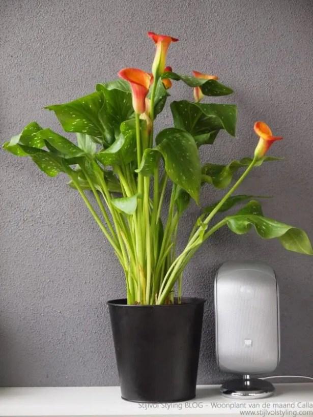 Interieur | Calla = Woonplant van de maand Mei - www.stijlvolstyling.com